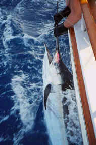 Fishing 102599 Marlin.jpg (41307 bytes)